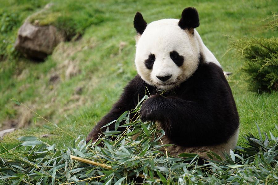 パンダ,笹,太る
